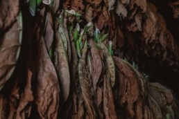 foglie di sigaro